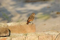 Black redstart female royalty free stock photography