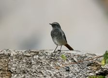 Black redstart on the fense. On blurred back Stock Photo