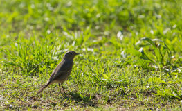 Black Redstart on the ground Stock Photos