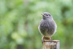 Black redstart juvenile Royalty Free Stock Photo