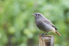 Black redstart juvenile Royalty Free Stock Image