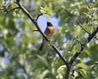 Black Redstart (lat. Phoenicurus ochruros). Stock Photography