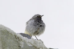 Black redstart male  (phoenicurus ochruros) Stock Photos