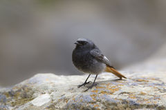 Black Redstart Stock Image