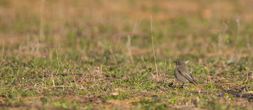 Black Redstart on a meadow Royalty Free Stock Photography