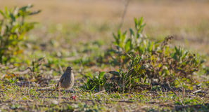 Black Redstart on a meadow Stock Photography