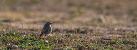 Black Redstart on a meadow Stock Images