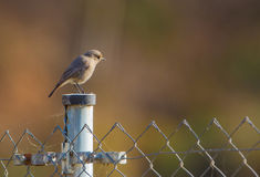 Black Redstart on metal pole Royalty Free Stock Images