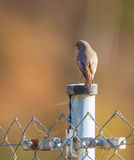 Black Redstart on metal pole Stock Photography