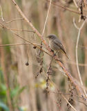 Black Redstart perched on dry branch Stock Images