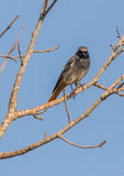 Black Redstart perched on tree Stock Photography