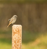 Black Redstart perching on pole Stock Photos