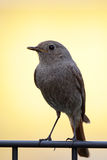 Black Redstart (Phoenicurus ochruros) Stock Photos