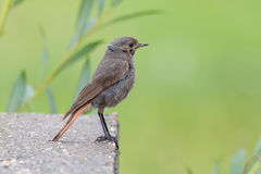 A Black Redstart (Phoenicurus ochruros) Royalty Free Stock Photo