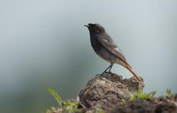 Black Redstart (Phoenicurus ochruros) Royalty Free Stock Photo