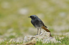 Black redstart Royalty Free Stock Photography