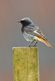 A Black Redstart Stock Image