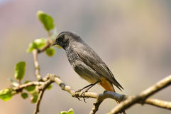 Black redstart (Phoenicurus ochruros). Picture of black redstart (Phoenicurus ochruros latin royalty free stock photo