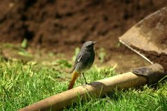 Black redstart (Phoenicurus ochruros). Picture of black redstart (Phoenicurus ochruros latin stock photo