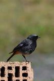Black Redstart (Phoenicurus ochruros) - male bird Stock Image