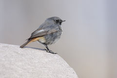 Black redstart, Phoenicurus ochruros Royalty Free Stock Photo