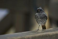 Black redstart (Phoenicurus ochruros). Perched on a bird observatory Stock Photos