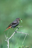 Black redstart, Phoenicurus ochruros Royalty Free Stock Photo
