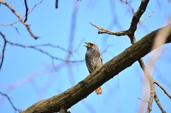 Black redstart (Phoenicurus ochruros). Black redstart sits on the branch of a tree in a spring day Stock Photo