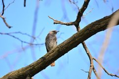 Black redstart (Phoenicurus ochruros). Black redstart sits on the branch of a tree in a spring day Royalty Free Stock Image