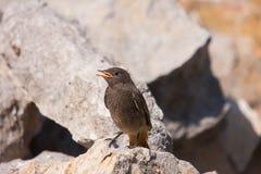 Black redstart (Phoenicurus ochruros). Is a small passerine bird in the redstart genus Phoenicurus Royalty Free Stock Photography