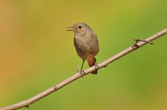 Black redstart Stock Images