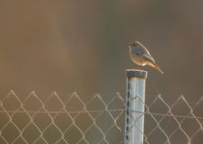 Black Redstart on pole with backlight. Royalty Free Stock Image