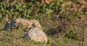 Black Redstart on a rock Stock Photography