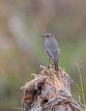 Black Redstart on a root Stock Image