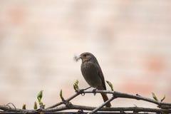 Black Redstart. A Black Redstart sitting on a branch Royalty Free Stock Image