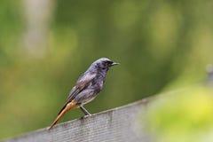Black redstart sitting on a garden fence Stock Image