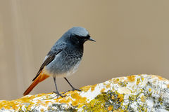 Black redstart sitting on rock (phoenicurus ochruros) Stock Image