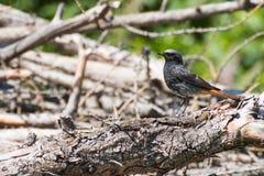 Black redstart small black bird with orange red tail Royalty Free Stock Image