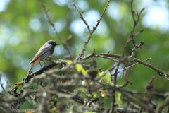 Black redstart. On the tree Royalty Free Stock Image