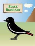 Black Redstart Royalty Free Stock Photos