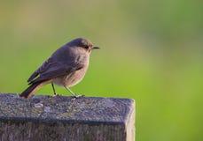 Black Redstart on wooden log Stock Photo