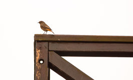 Black Redstart on wooden veranda Royalty Free Stock Photo