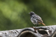 Black redtail Phoenicurus ochrurus Stock Photography