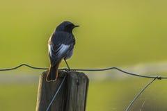 Black redtail Phoenicurus ochrurus Stock Photo