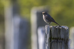 Black redtail Phoenicurus ochrurus Royalty Free Stock Image