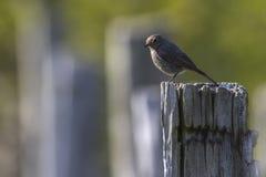 Black redtail Phoenicurus ochrurus Royalty Free Stock Photo