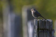 Black redtail Phoenicurus ochrurus Royalty Free Stock Images