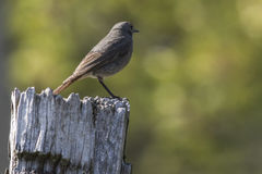 Black redtail Phoenicurus ochrurus Stock Photo