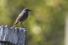 Black redtail Phoenicurus ochrurus Royalty Free Stock Photo