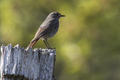 Black redtail Phoenicurus ochrurus Stock Photography